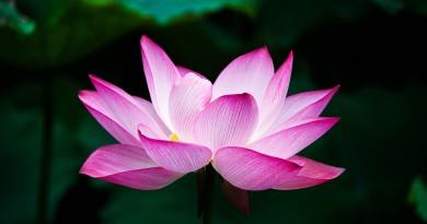 lotus-978659_960_720
