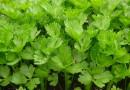 Le piante alleate del benessere: le proprietà del sedano