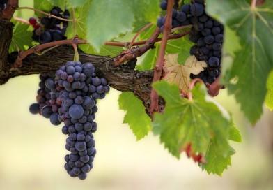Vendemmia record 2018 per l'Italia che si riconferma nel settore del vino